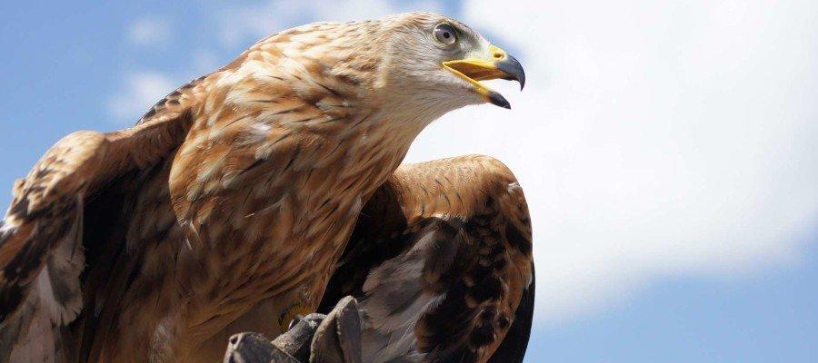 Adler oder Kondor?